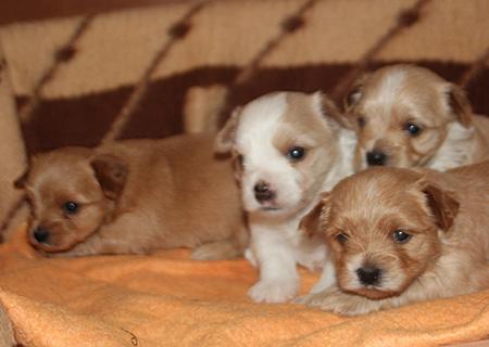 купить щенка голддаст йорка в питомнике в Москве