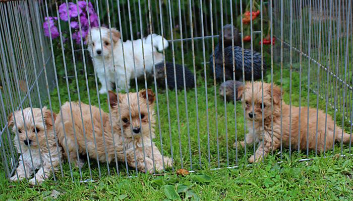 купить щенка голддаст йорка (золотого йорка ) в Москве в  питомнике