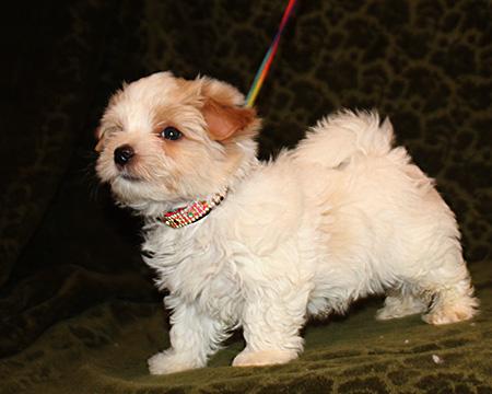 Голддаст йорк белозолотого окраса продается щенок