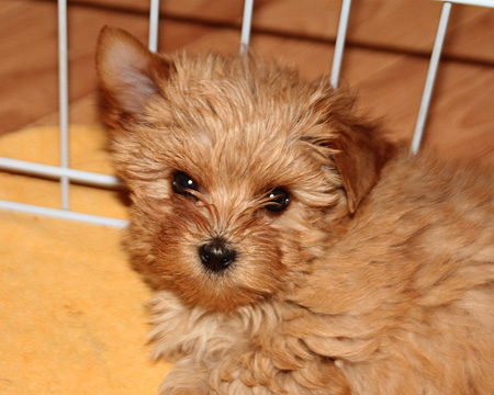 купить щенка голддаст йорка в Москве в питомнике