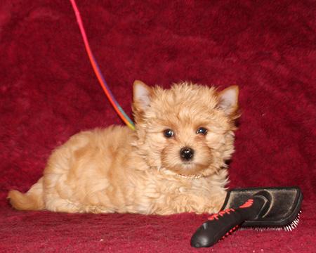 голддаст йорк щенок