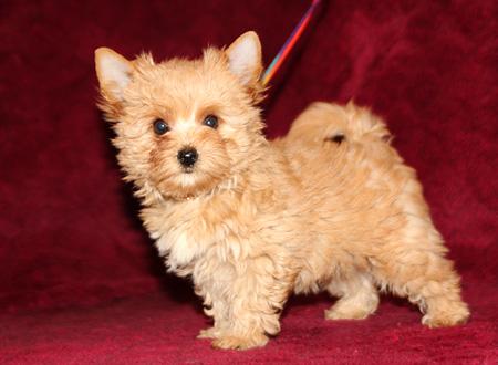 купить  щенка голддаст йорка-золотого йорка в Москве в профессиональном питомнике 8 916 074 0975