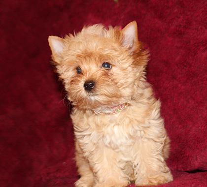 очень хорошенький щенок голддаст йорк.Купить можно в питомнике в Москве